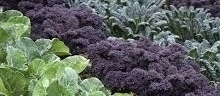 purple sprouting broccoli